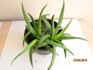 Бергерантус стрелконосный (Bergeranthus scapiger) более крупное растение; у него листья длиной до 12 см, цветки диаметром до 5 см; довольно устойчив к болезням и вредителям.