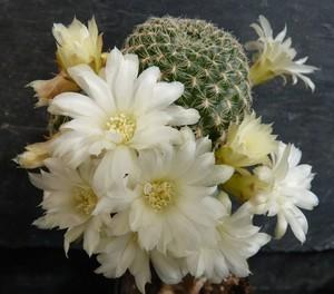 Кактус Сулькоребуция Роберто Васкеса - Sulcorebutia roberto-vasquezii, описание и фото