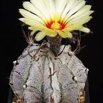 Астрофитум козерогий снежный — Astrophytum capricorne v. niveum