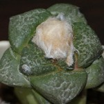 Ариокарпус промежуточный — Ariocarpus intermedius