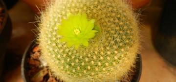 Brasilicactus-graessneri