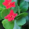 Каланхоэ Блоссфельда (Kalanchoe Blossfeldiana) - фото и описание Высота растения 30-45 см, листья округлые, волнистые по краю, цветки красные, собраны в полузонтичные соцветия. Выращивают в основном гибридные сорта с белыми, желтыми, оранжевыми, лиловыми, розовыми, красными цветками: Bali, Singapore, Calypso, Fortyniner, Beta, Santorini, Coral Mirjam, Alexandra и другие. Имеются также миниатюрные формы, высотой до 15 см, с ярко красными цветками.