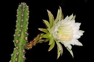 Кактус Эриоцереус Жюсбера - Eriocereus jusbertii, описание и фото. Эриоцереус - великолепный кактус, за которым не требуется особый уход, во время цветения можно получить прекрасные фотографии этого замечательного кактуса