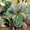 Каланхоэ Испещренное (Kalanchoe Marmorata, Grandiflora) - фото и описание Полукустарнии высотой до 50 см, листья обратнояйцевидные, длиной 8-12 см., по краям выемчато-зубчатые, зеленые, позже сероватые с обеих сторон, в крупных коричневых пятнах. Цветки белые, длиной 6 см. Синоним - Kalanchoe grandiflora.