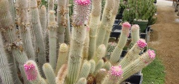 Микрантоцереус многоцветковый, Micranthocereus polyanthus