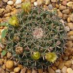 Маммиллярия согнутая — Mammillaria adunca / uncinata
