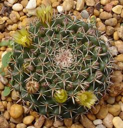 Маммиллярия согнутая - Mammillaria adunca / uncinata. описание, уход, и фотографии вида кактуса Маммиллярия согнутая - Mammillaria adunca / uncinata