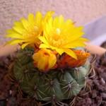 Матукана золотистоцветковая — Matucana aureiflora