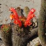 Клейстокактус колючий — Cleistocactus acanthurus