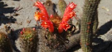 Клейстокактус колючий, Cleistocactus acanthurus, фото, кактус