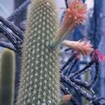 Loxanthocereus cullmannianus Backbg