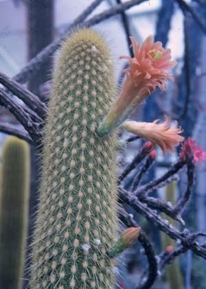 кактус, род Loxanthocereus cullmannianus Backbg
