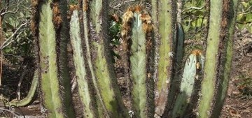 Пилозоцереус, Pilosocereus fulvilanatus subsp. vanheekianus, кактус, фото, описание, уход