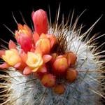Микрантоцереус желтоцветковый — Micranthocereus flaviflorus