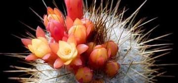 Микрантоцереус желтоцветковый, Micranthocereus flaviflorus