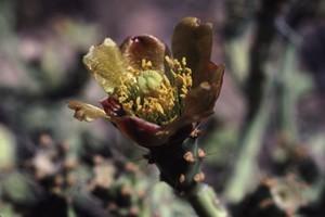 Кактус Цилиндропунция деревцевидная - Cylindropuntia arbuscula, описание и фото