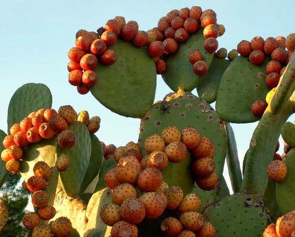 Кактусы Мексики - удивительные растения, некоторых из них можно употреблять в пищу. Да да, они съедобные!