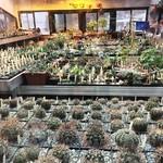 Ботанический сад МГУ приглашает в гости любителей кактусов.