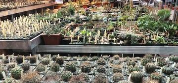 Укрываться от неустойчивых температур жители Москвы большими группами стекаются в «Аптекарский огород» – полюбоваться редкими орхидеями, хищными растениями и причудливыми суккулентами – растениями пустынь. Фестиваль «Тропическая зима» в Ботаническом саду МГУ восьмой год подряд собирает желающих погреться и получить эстетическое удовольствие. Для посетителей проводятся познавательные экскурсии по оранжереям сада, и неудивительно, что наибольшее внимание гостей привлекают суккуленты, комфортно расположившиеся на 2 этаже оранжереи.