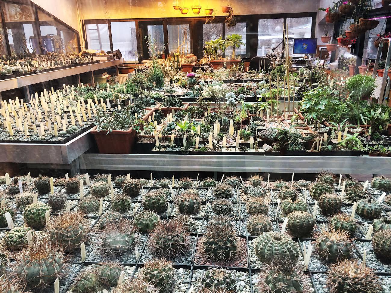 Жители Москвы большими группами стекаются в «Аптекарский огород» – полюбоваться редкими орхидеями, хищными растениями и причудливыми суккулентами – растениями пустынь. Фестиваль «Тропическая зима» в Ботаническом саду МГУ восьмой год подряд собирает желающих погреться и получить эстетическое удовольствие. Для посетителей проводятся познавательные экскурсии по оранжереям сада, и неудивительно, что наибольшее внимание гостей привлекают суккуленты, комфортно расположившиеся на 2 этаже оранжереи.