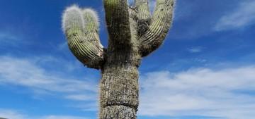 Кактус Эхинопсис атакамский - Echinopsis atacamensis, описание и фото