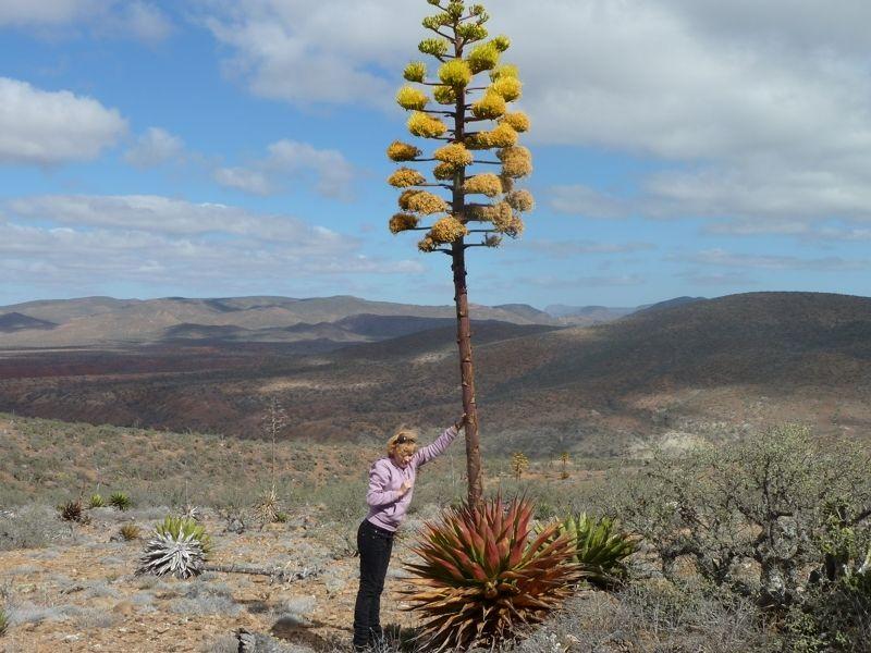 Пустынные агавы зацветают - красивое зрелище в пустыне. А этот экземпляр агавы почти зацвел полностью.