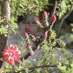 Пениоцереус гадючий — Peniocereus viperinus