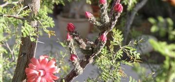 Пениоцереус гадючий, Peniocereus viperinus