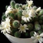 Айлостера белоцветковая — Aylostera albiflora