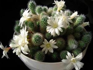 Айлостера белоцветковая, кактусы, суккуленты, уход за кактусами, фото