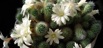 Айлостера белоцветковая - Aylostera albiflora,описание и фото кактуса