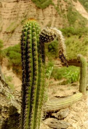 Кактус Эхинопсис - Echinopsis thelegonoides, описание и фото